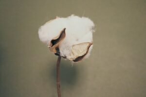 Are the benefits of organic cotton worth it?-Cotton ball on stem.