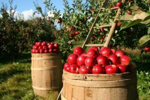 What is Organic baby food?-Farm with 2 barrels of red apples