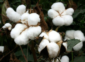 Inexpensive organic baby clothes-White cotton plant